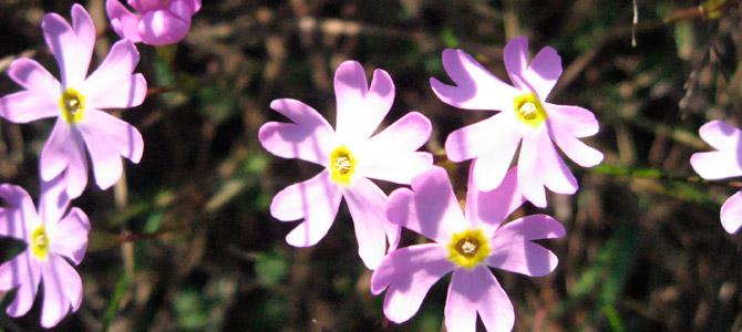タカランタ海岸とリピンラハティの海岸では絶滅の恐れのあるルイヤンエシッコ(サクラソウ科サクラソウ属)が自生します。この花はEU(欧州連合)加盟国の中ではフィンランドのみで見ることができます。 写真:ヴオッコ・モイサラ
