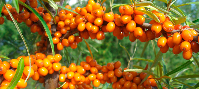 Sea Buckthorn is a typical pioneer plant of a land uplift coast which has conformed to occupy the shore's bare land promptly. Sea buckthorn grows wild in Hanhikivi.